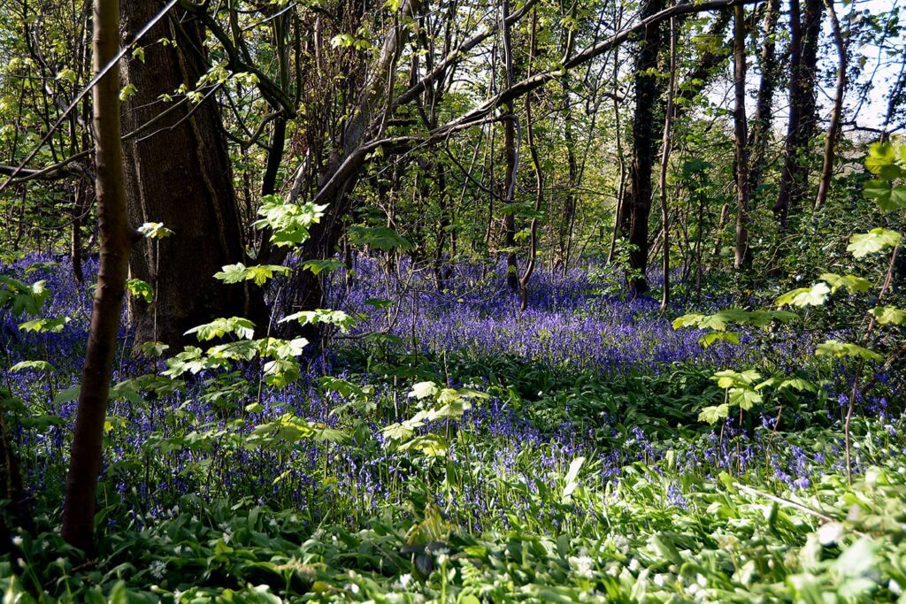 Bluebells in Witch Wood Lytham. Lytham St Annes Civic Society
