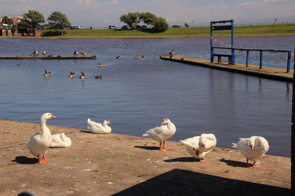 Birds at Fairhaven Lake by Keith Swallow